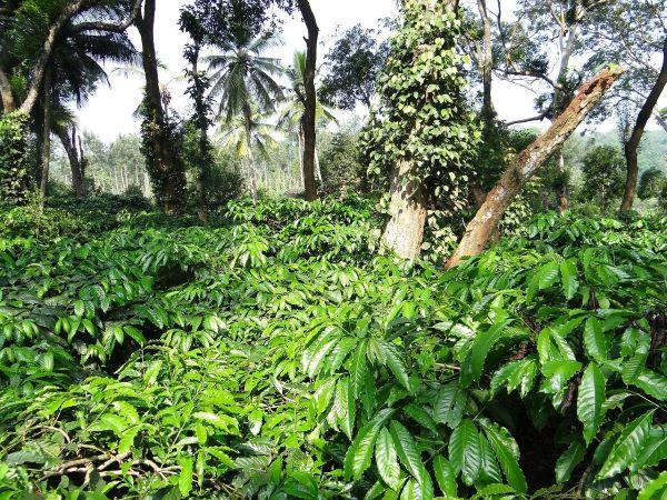 caffè origine e diffusione
