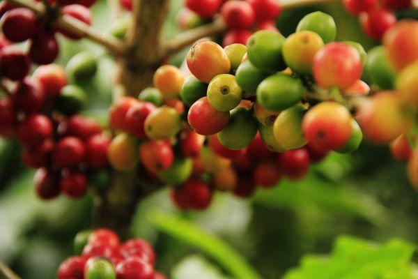 pianta del caffè caratteristiche